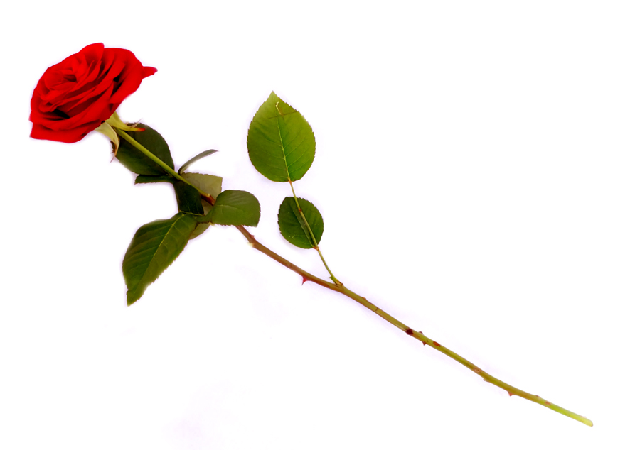 single red rose for your valentine