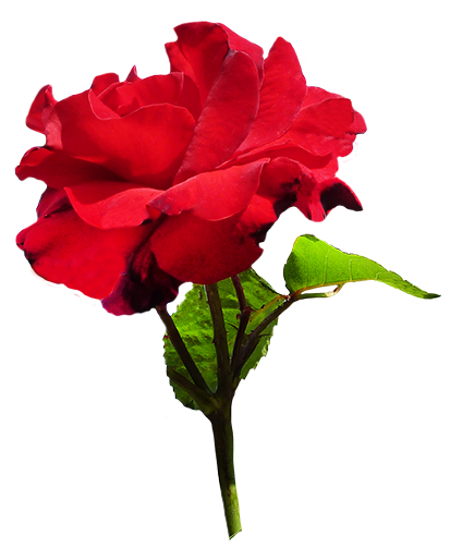 Rose Clipart