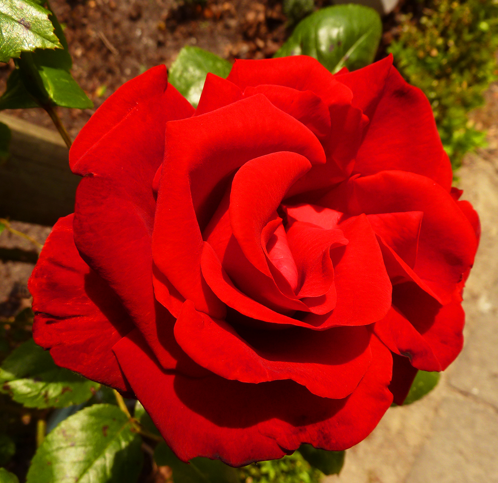 red summer rose photo