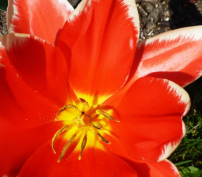 red tulip opens up first day of spring