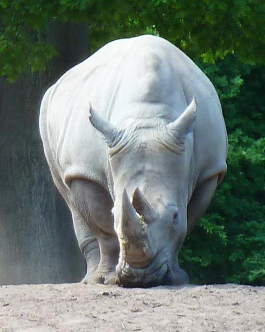 Frontal rhinoceros picture white