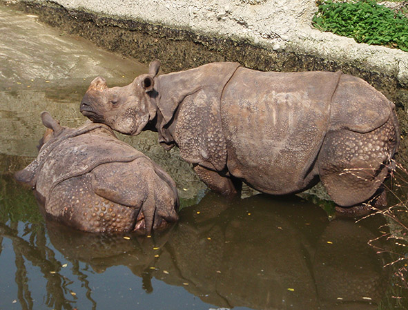 Rhinoceros pictures in water