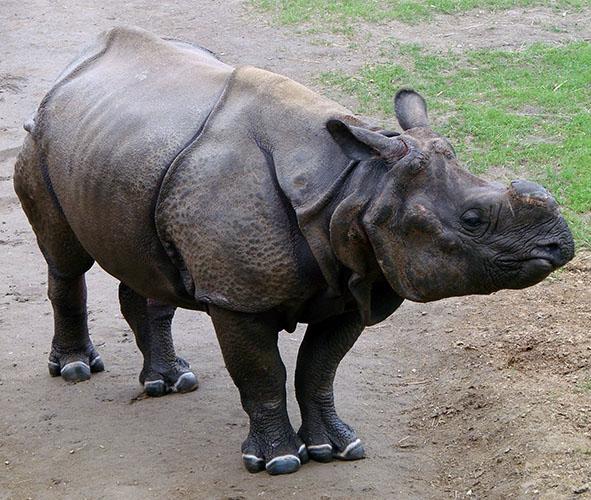 Indian rhino standing