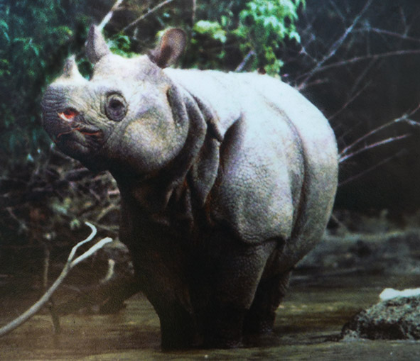 Javan rhinoceros in tropical forest