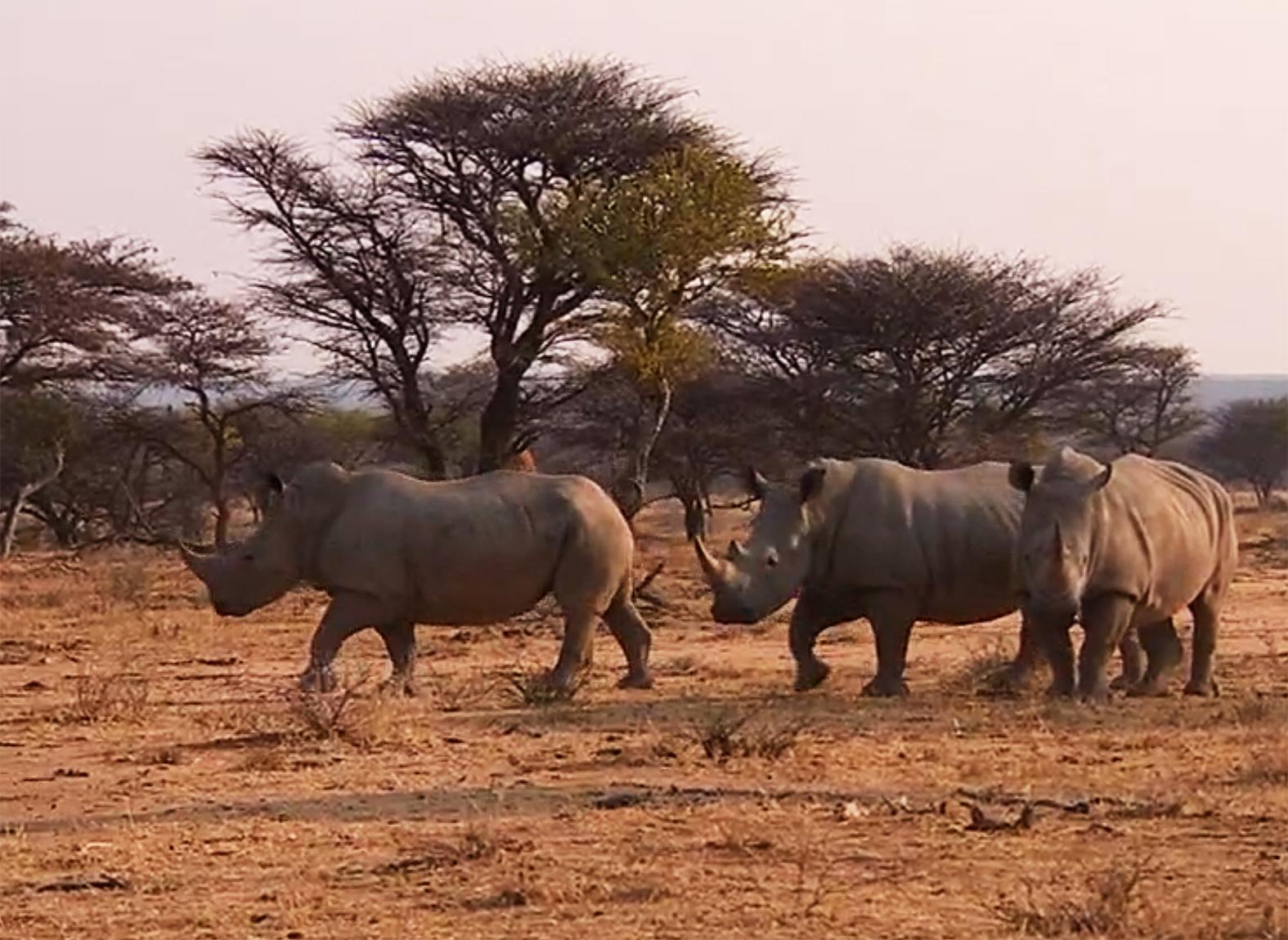 rhinoceros-photo-three-rhinoceros.jpg
