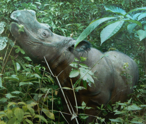 Sumatran rhinoceros in rain forest