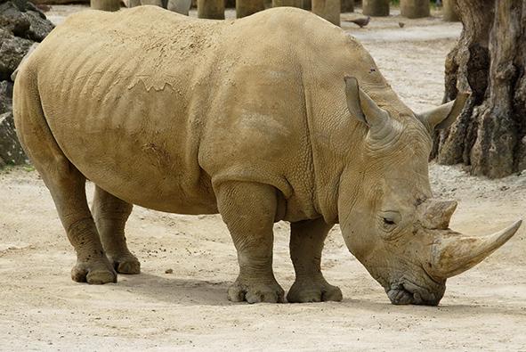 White African rhinoceros grazzing