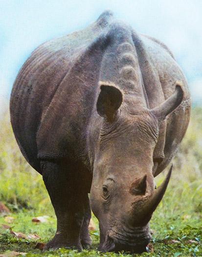 White Rhinoceros eating grass