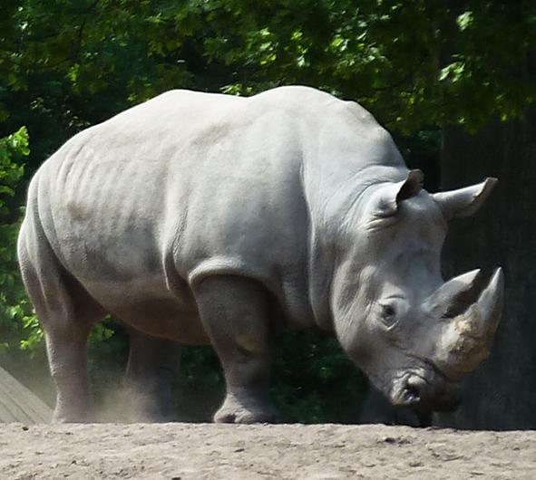 Square lipped white rhinoceros