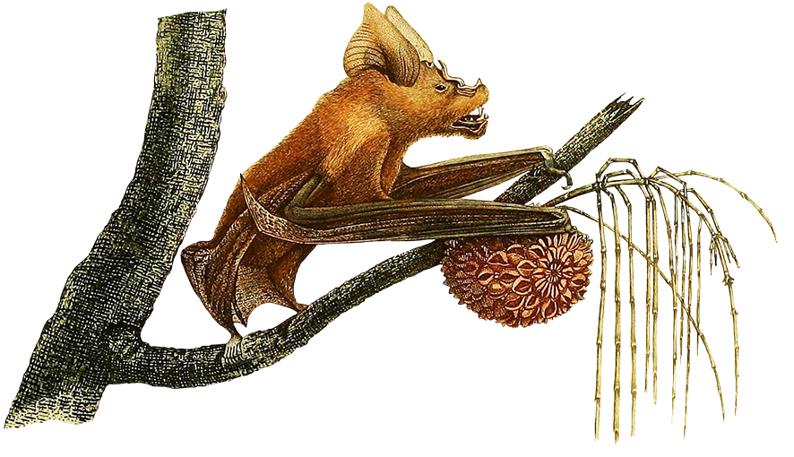 Rhinolope fruit bat in tree