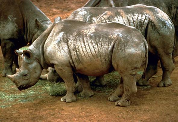 Black rhinoceros African