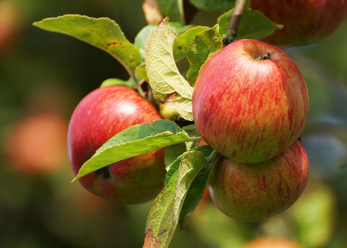 ripe apples in autumn