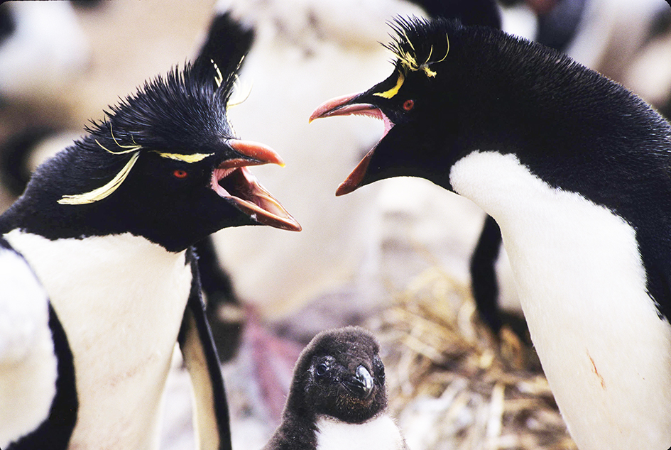 Rockhopper penguins and chick