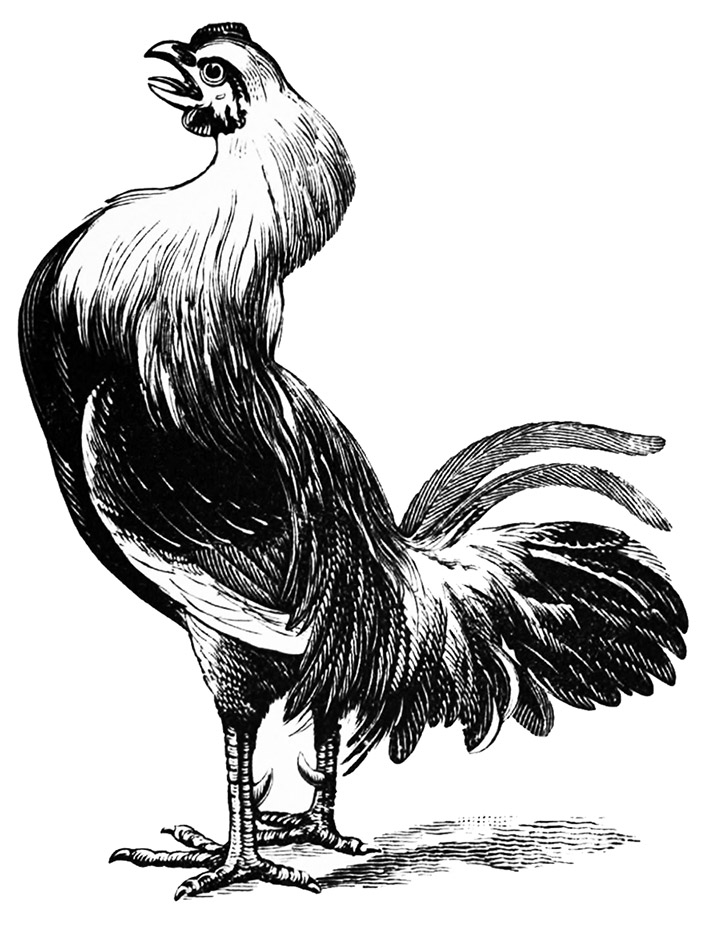 rooster illustraion victorian
