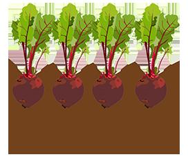 beetroot garden vegetable clipart