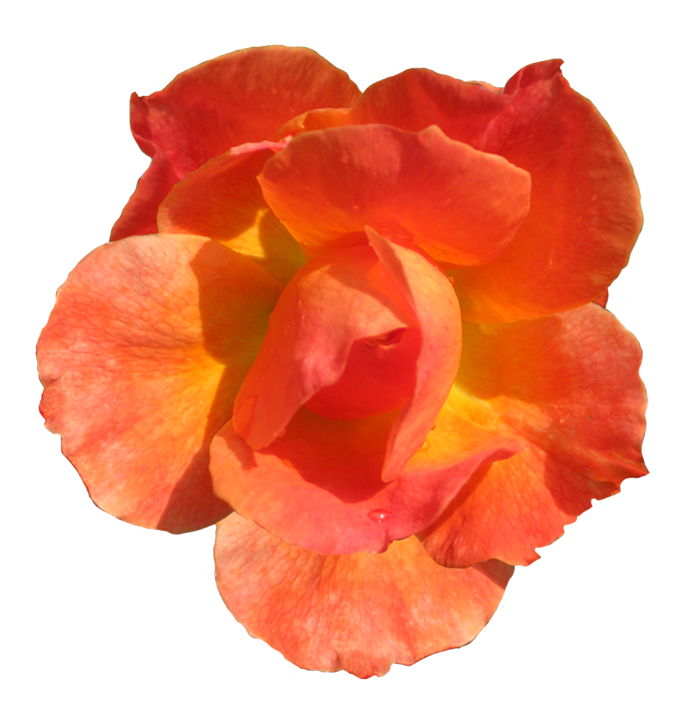 Rosa Fellowship clipart blooming head