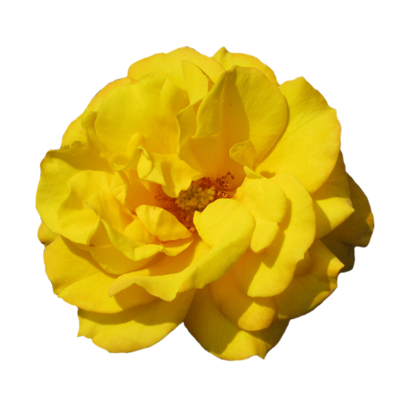 Rosa Goldmarie clipart