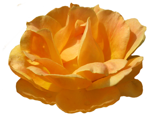 Rosa Zonta orange rose image
