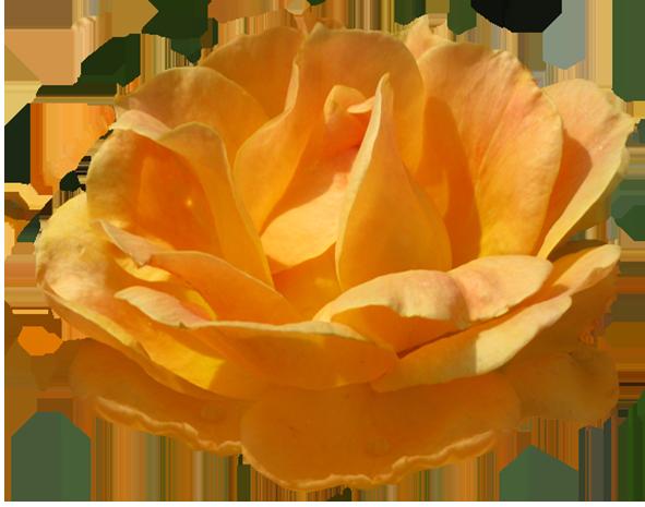 Rosa Zonta orange rose image