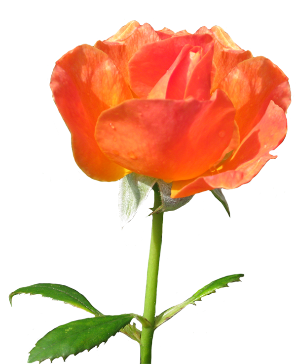Rose la Sevillana clipart