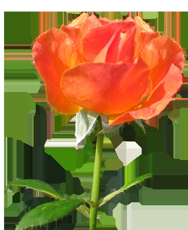 Rose la Sevillana clipart