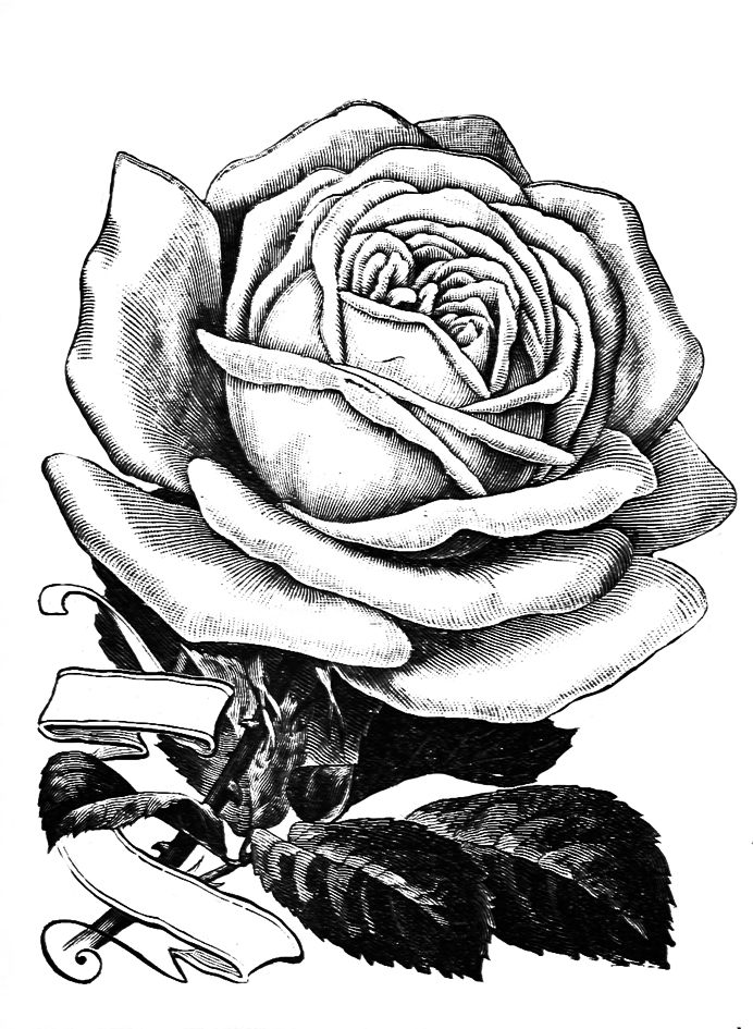 rose sketch with banner