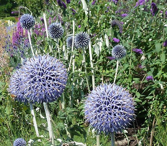round blue flowers