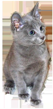 Russian blue kitten clipart