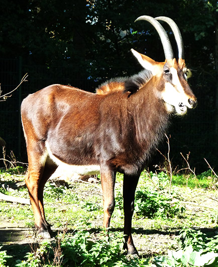 Sable Antelope Copenhagen Zoo
