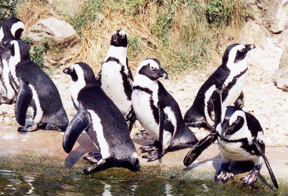 Sander penguins