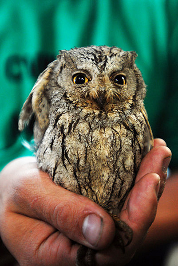 picture of screech owl