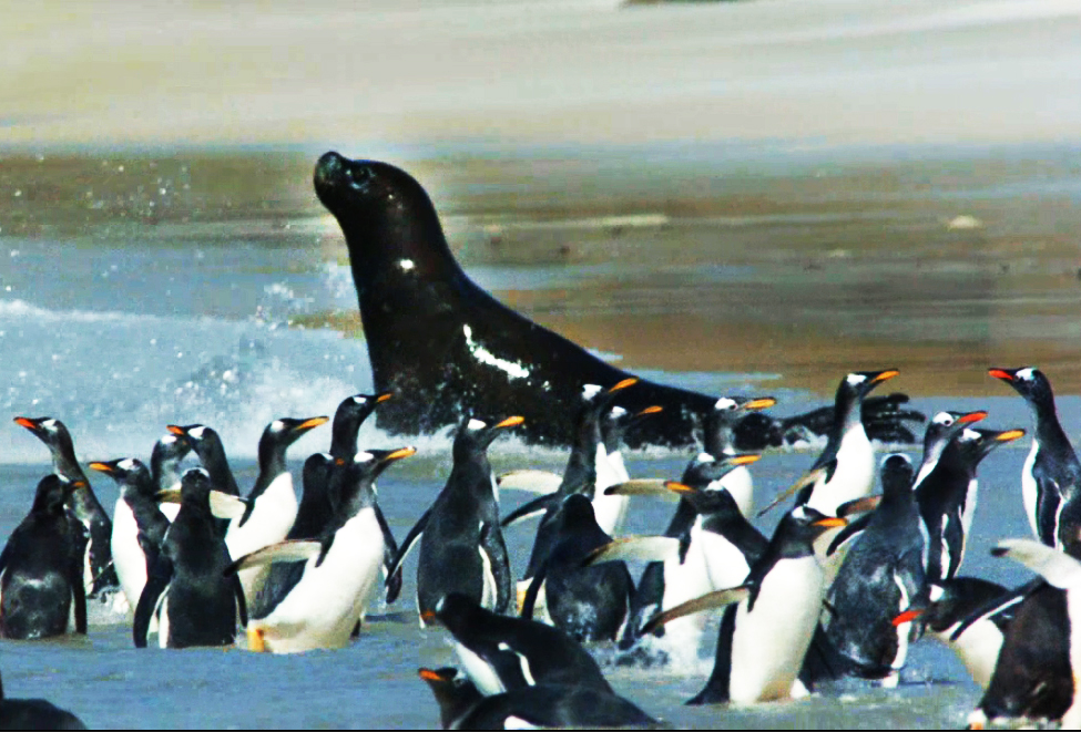 sea lion hunting gentoo penguins