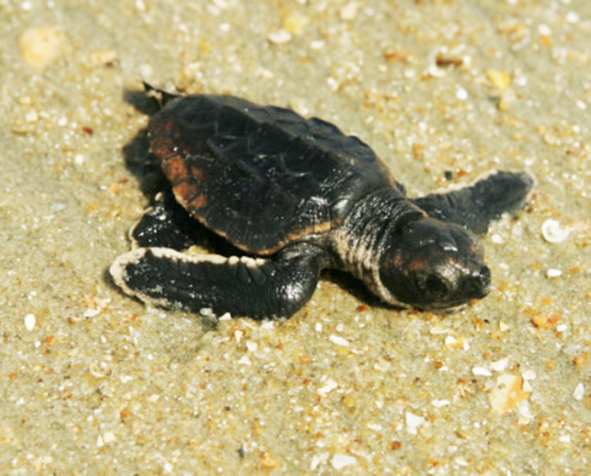 loggerhead baby heading towards the ocean