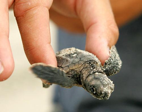 hand holding hatchling  loggerhead sea turtle