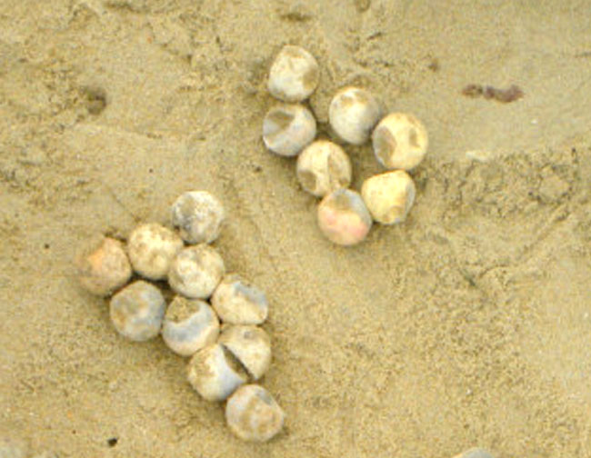 loggerhead eggs dead