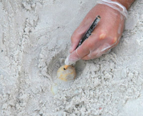 relocation of sea turtle eggs