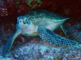 green sea turtle swimming ocean