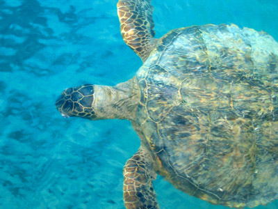 swimming green turtle ocean