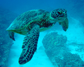 sea turtle green swimming blue water