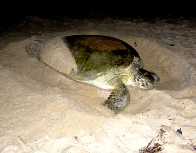 green sea turtle nesting