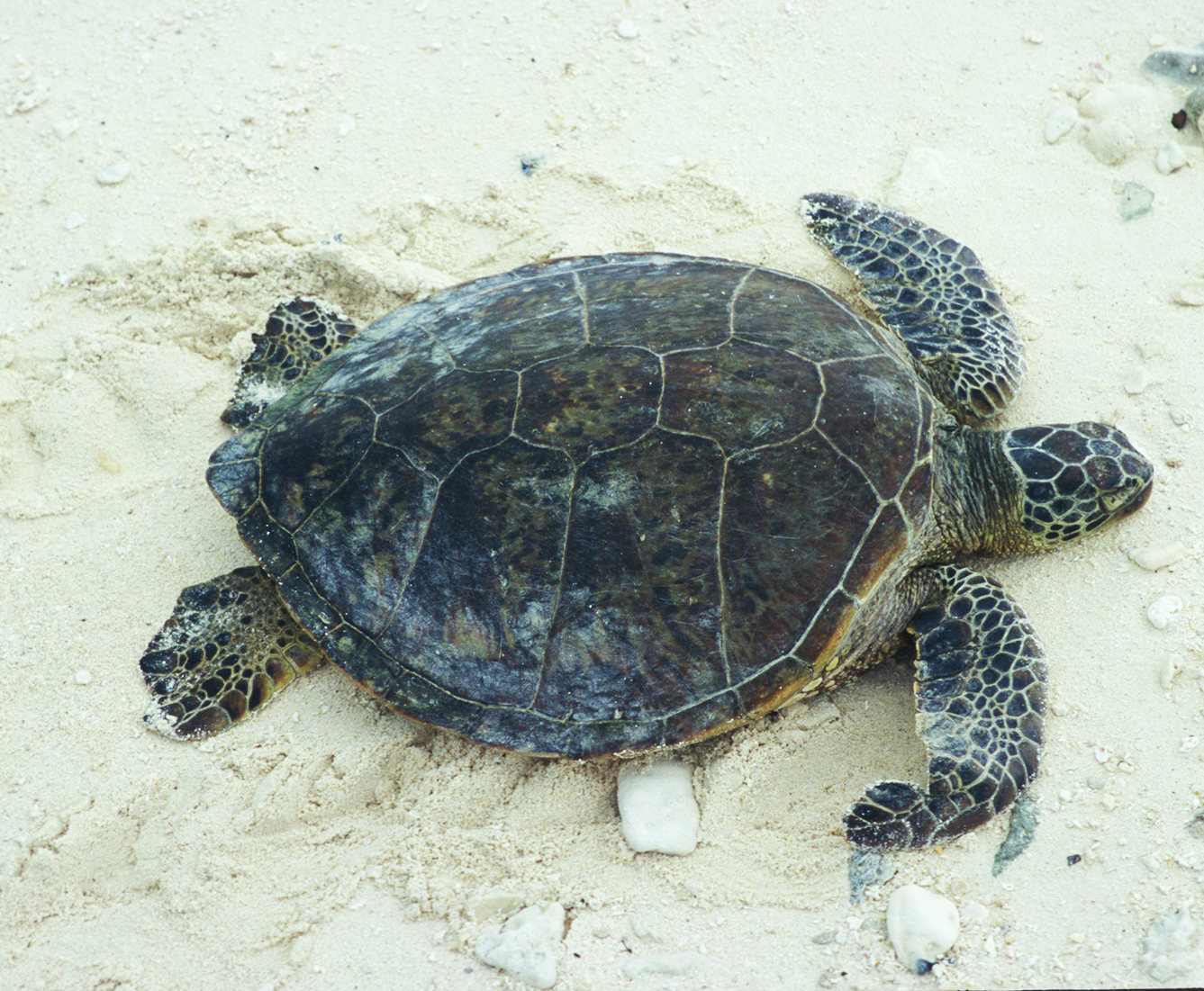 green sea turtle on sand