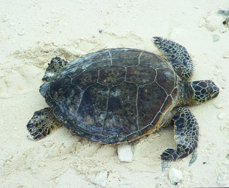 green sea turtle on sand