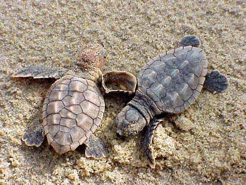 hatchlings of loggerhead sea turtle on beach
