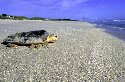 female loggerhead after making the nest