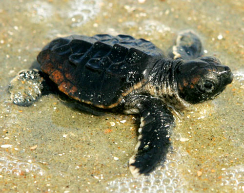 loggerhead baby near the ocean