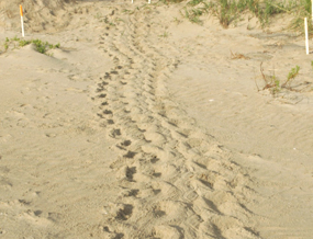 sea turtle crawl for nesting