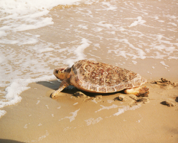 sea turtle pictures loggerhead female ocean