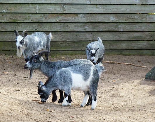 Many pet goats in zoo