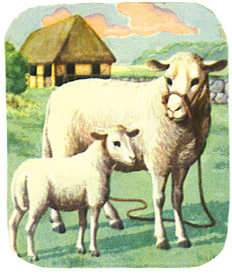 sheep scrap