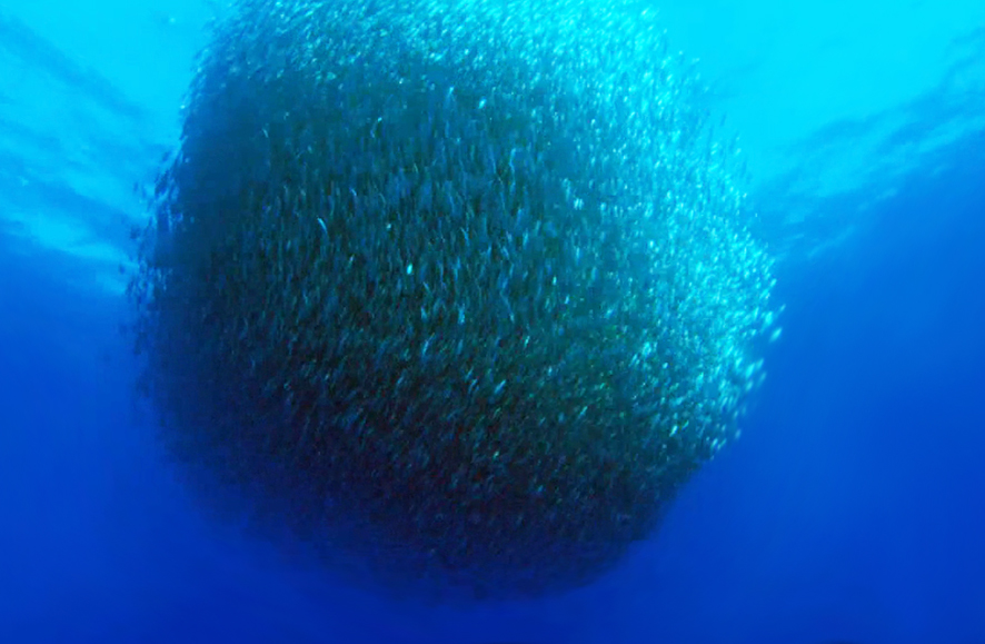 shoal of fish driven together by dolphings